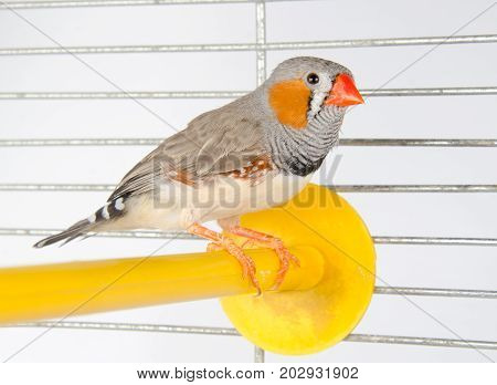 Male Zebra Finch on a perch in a cage