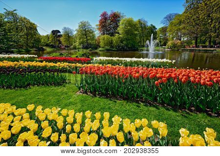 Blooming tulips flowerbeds in Keukenhof flower garden, also known as the Garden of Europe, one of the world largest flower gardens and popular tourist attraction. Lisse, the Netherlands.