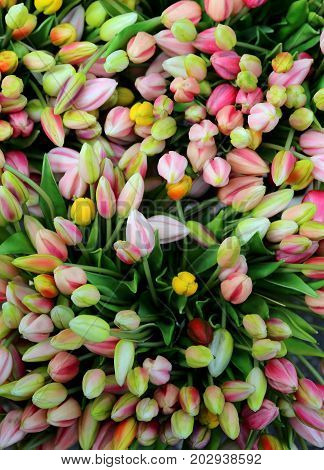 Tulips Background For Sale In The Flower Market