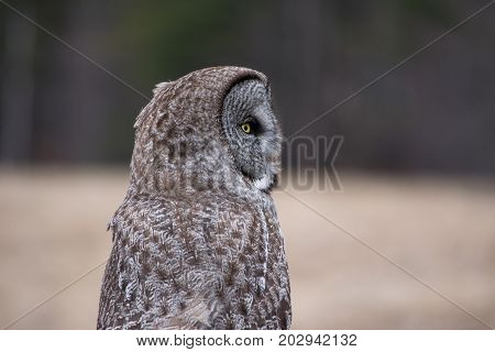 profile of great grey owl perched on fence post, keene valley, New York
