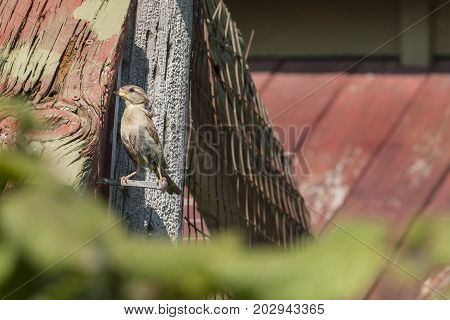 Female Sparrow in the Process of Feeding Her Babies