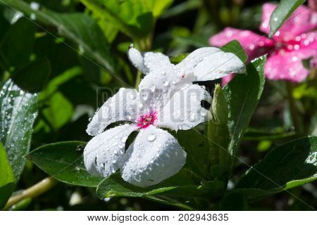 White Periwinkle with pink center and dewdrops in a bed of green leaves