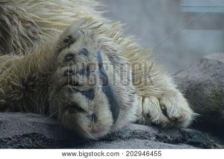 Close up of a polar bear paw