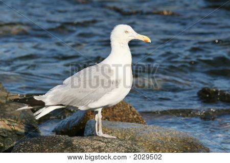 Seagull On The Shore