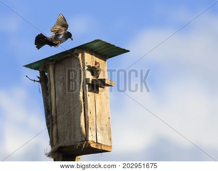 black Starling bird flies to feed their Chicks to the house in the spring