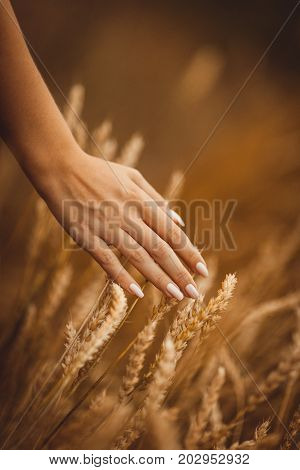 Hand with manicure strokes wheaten spikelets in a field in the orange morning light