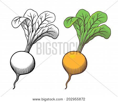 Vector hand drawn illustration of turnip with leaves. Outline and colored version