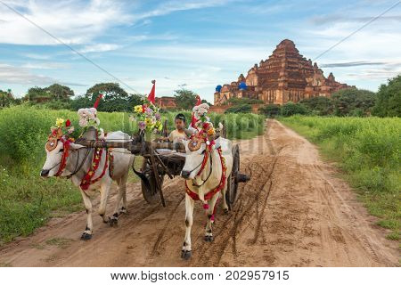 Bagan, Maynmar - October 12, 2016: Small burmese boy driving an oxcart during sunrise in Bagan, Myanmar.