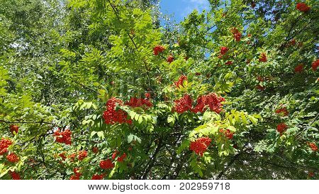 Branches of mountain ash with bright orange berries against blue sky background