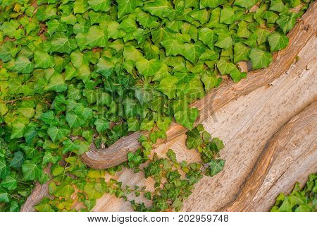Many Green Leaves with dry brabch on tree Background Texture