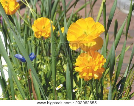 YELLOW FLOWERS  IN FULL BLOOM IN THE FORE GROUND, WITH A DARK BACK GROUND