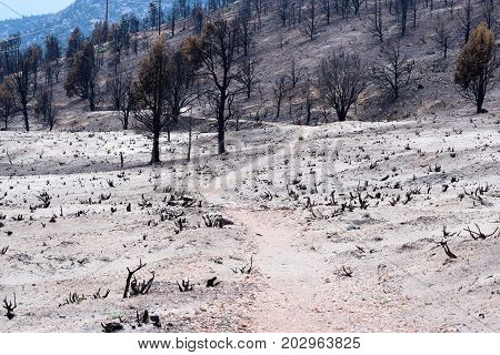 Hiking Trail thru charcoaled landscape including a burnt pine forest surrounded by ash taken in the San Bernardino Mountains, CA
