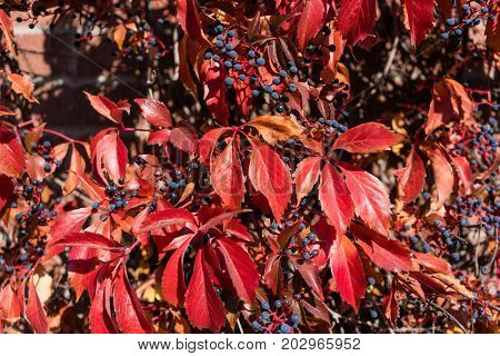 Colorful woodbine in its red fall or autumn color