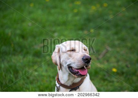 Smiling Labrador Retriever, Also Labrador, Labradorite For A Walk Closed His Eyes.