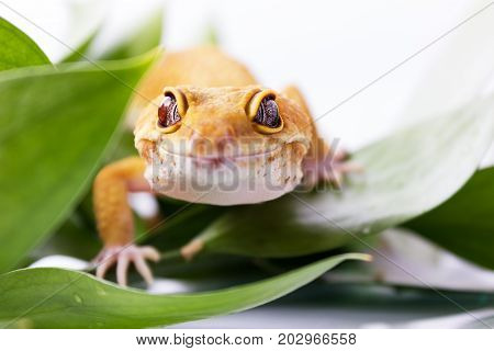 Orange Leopard Gecko Walking And Looking At Camera In Green Leaves