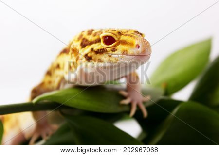 Orange Leopard Gecko Walking And Looking Forward In Green Leaves