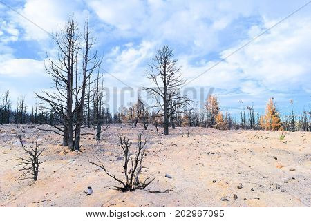 Charcoaled landscape with burnt pine trees surrounded by ash caused by a wildfire taken near Big Bear, CA