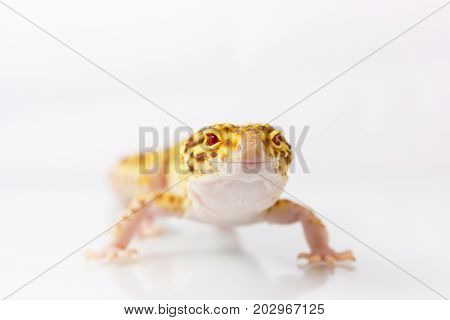 Orange Leopard Gecko Walking And Looking At Camera On White Background
