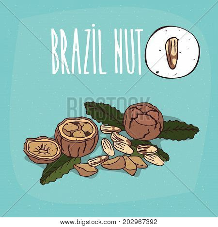 Set of isolated plant Brazil nut nuts herb with leaves Simple round icon of Bertholletia excelsa on white background Lettering inscription Brazil nut
