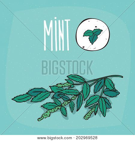 Set of isolated plant Mint leaves herb with flowers Simple round icon of Mentha on white background Lettering inscription Mint