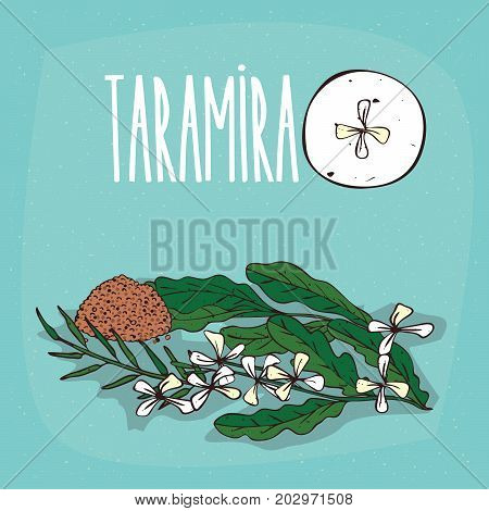 Set of isolated plant Taramira flowers herb with leaves seeds Simple round icon of Eruca sativa on white background Lettering inscription Taramira poster