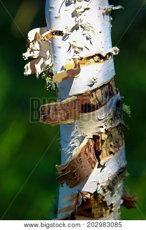The Peeling Bark Of A Birch Tree Trunk With A Green Background