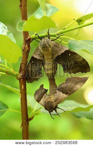 The Back View Of A Pair Of Poplar Sphinx Moths Mating