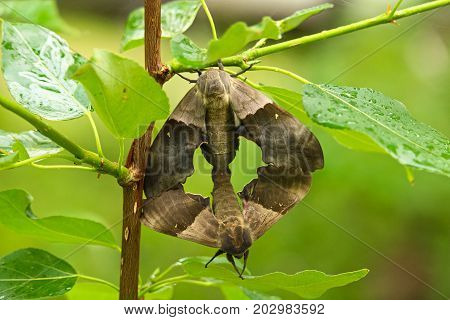 A Female Poplar Sphinx Moth Mating With A Male