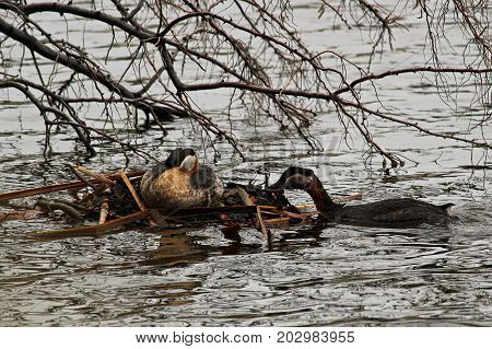 A Male Red Necked Grebe Maintaining The Floating Nest