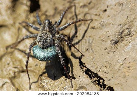 Macro View Of A Blue Egg Sac Of A Wolf Spider
