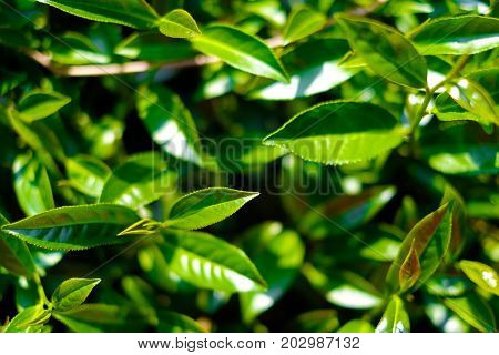Asia culture concept image - Top view of Fresh organic tea bud & leaves plantation the famous Oolong tea area in Alishan mountain Taiwan