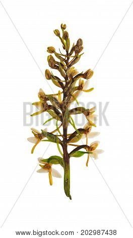 Pressed and dried flower platanthera bifolia isolated on white background. For use in scrapbooking floristry or herbarium.