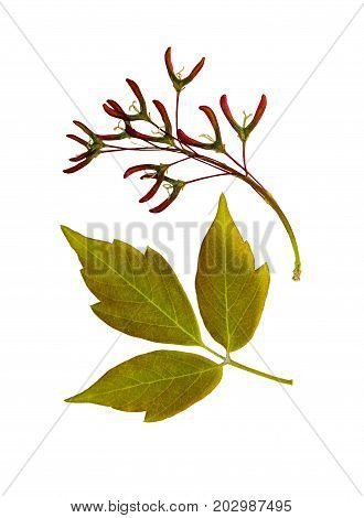 Pressed and dried flower (female inflorescence) maple tree isolated on white background. For use in scrapbooking floristry or herbarium.
