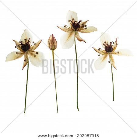 Pressed and dried Butomus umbellatus isolated on white background. For use in scrapbooking pressed floristry or herbarium.