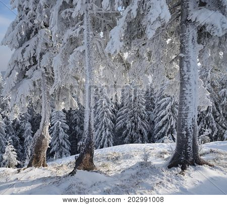 Winter in the woods. Fir trees in the snow and frost