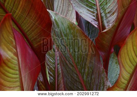 A considerable quantity of leaves of a canna create a picture with a variety of paints and lines.