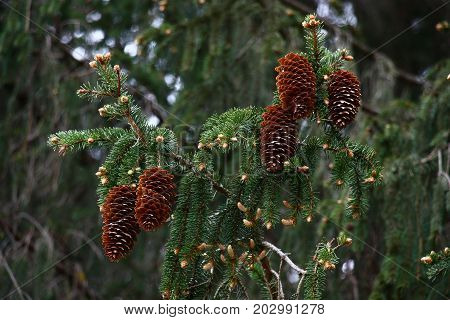 The big brown cones on a branch of an old fur-tree look as an ornament.