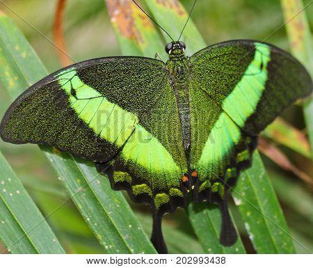 Big Green Butterfly Emerald Swallowtail, Photo To Wings, Papilio Palinurus