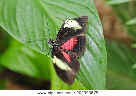 Big Black And Red Butterfly On Green Leaf
