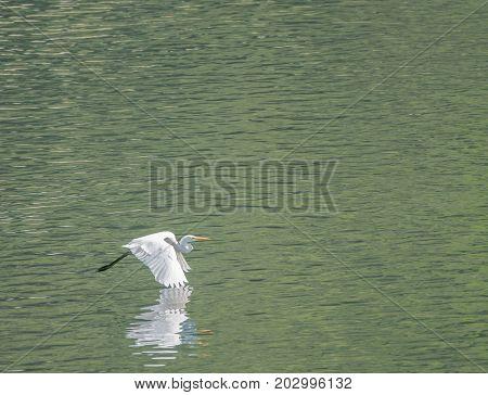 Large White Egret Flies Gracefully Over Lake