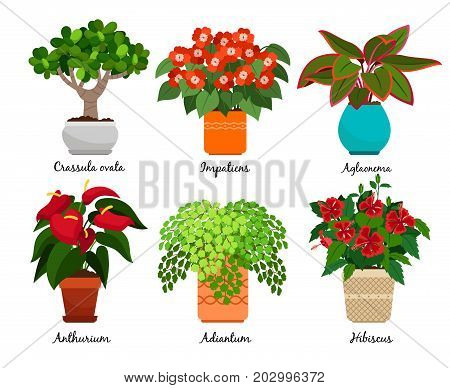 House flowers and vector indoor flowerpots isolated on white background. Crassula ovata and impatiens, aglaonema and anthurium, adiantum and hibiscus