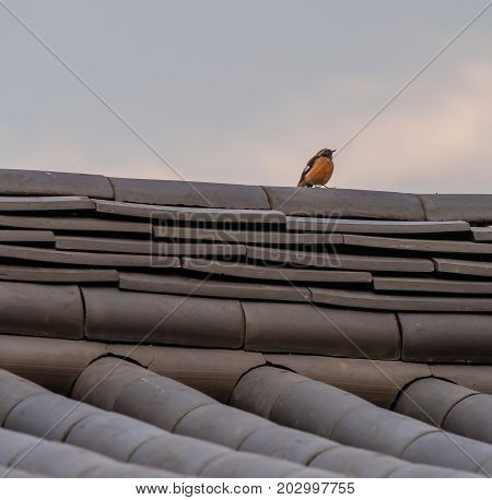 Red-breasted Robbin Perched On Tiled Roof