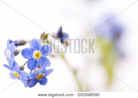 Close up blue Forget-me-not flowers on white background