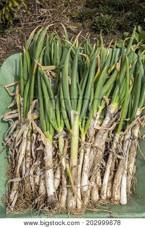 Harvested lot of welsh onions on the wheelbarrow in vertical composition