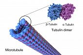Structure of a microtubule, 3D illustration. Microtubule is composed of a protein tubulin, it is component of cytoskeleton involved in intracellular transport, cellular mobility and nuclear division poster