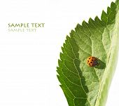 lovely lady bug on flora against white background poster