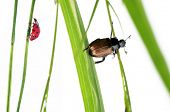 two kinds of beetles on flora against white background poster