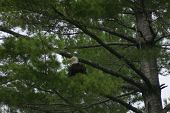 adult bald eagle perched in a tree. poster