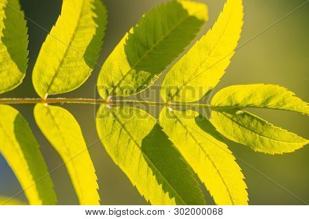 Rowan Branch With Green Leaves And Copy Space. Sorbus Aucuparia Or Mountain-ashes Branch. Sunny Clea