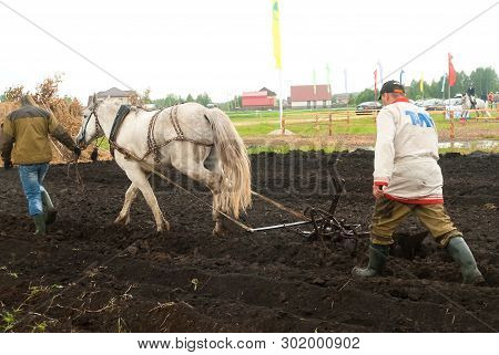Tyumen, Russia - June 24, 2016: The 5th Open Championship Of Russia On Plowed Land. Draught Horse Pu